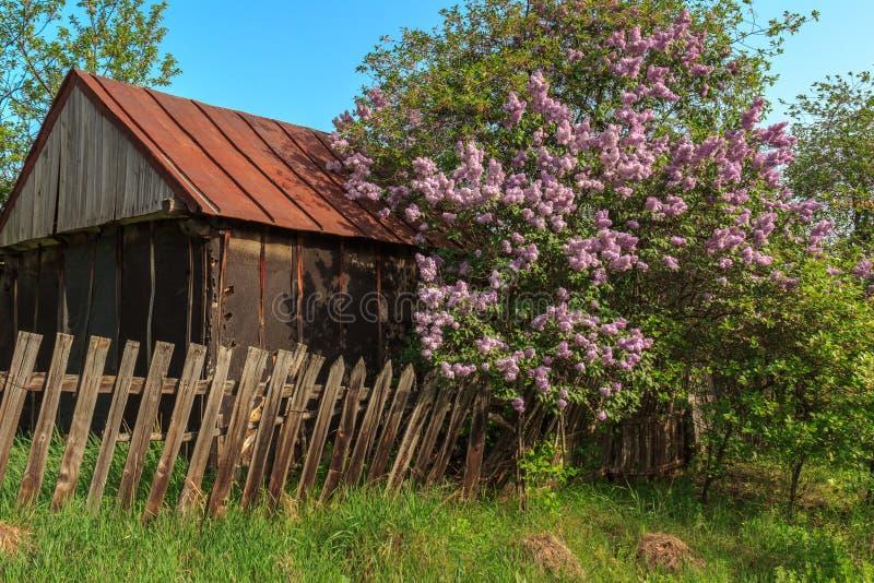 Lillà di fioritura vicino al vecchio recinto di legno piegato ed alla casa fotografia stock libera da diritti