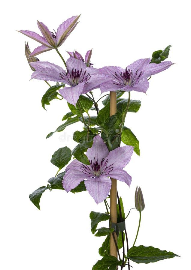 Lillà/fiore rosa della clematide su bianco fotografia stock libera da diritti