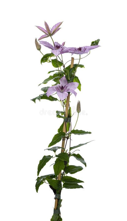 Lillà/fiore rosa della clematide su bianco immagine stock