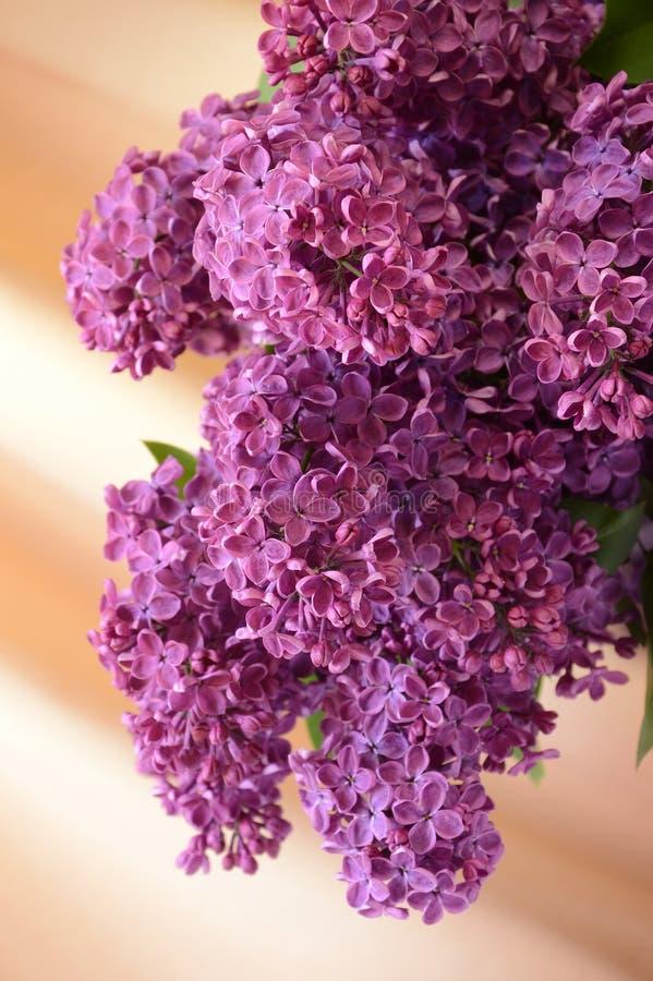 Lillà fragranti del ramo immagine stock