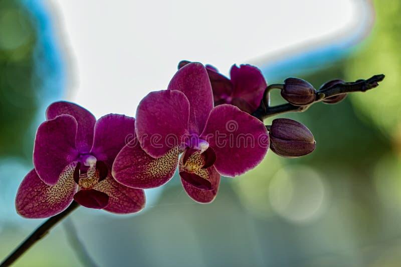 Lillà ibrido di phalaenopsis dell'orchidea con fondo unfocused immagini stock