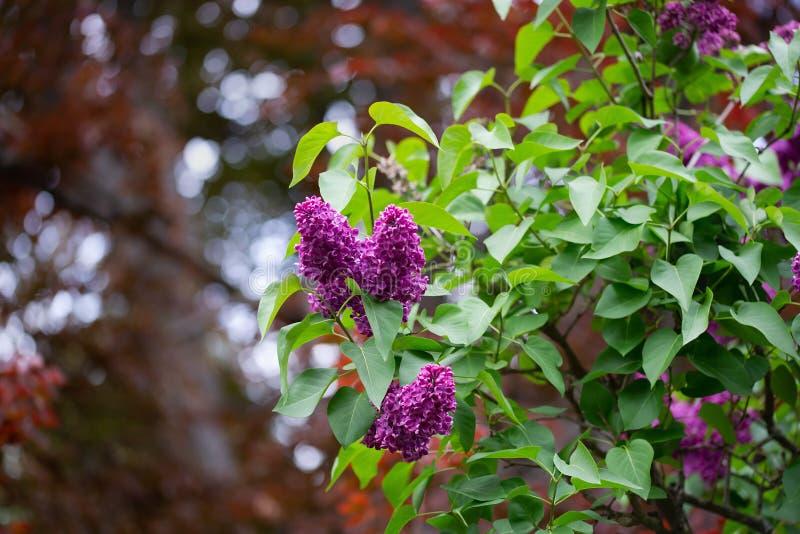 Lillà lilla sui precedenti dell'acero canadese con bello bokeh fotografia stock