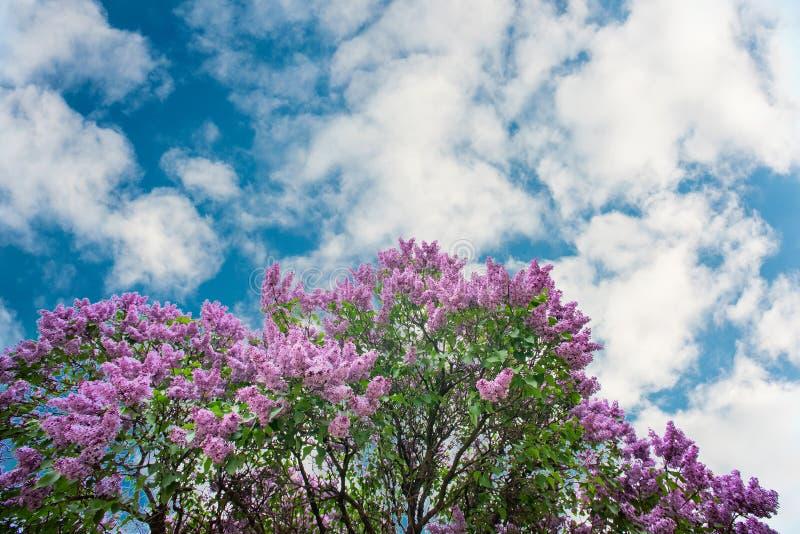 Lillà porpora sotto il cielo blu con le nuvole fotografia stock