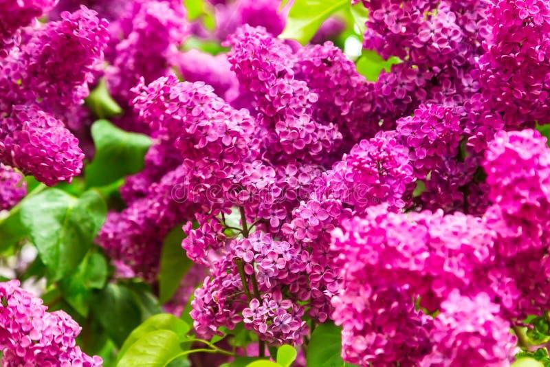 Lill? di fioritura nel giardino immagini stock libere da diritti