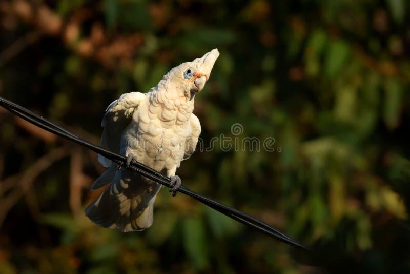 Lilla Corella - Cacatuasanguineafågel - som matar på filialen nära Melbourne, Australien royaltyfria foton