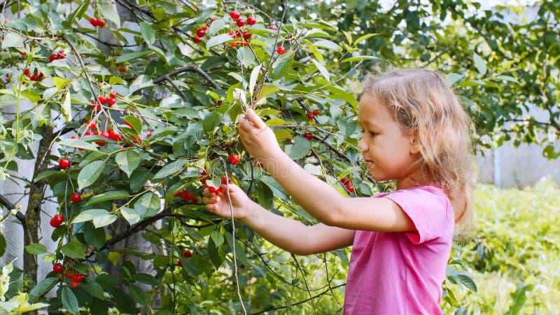 Lilla flickan äter körsbärsröda bär för plockning upp från trädet fotografering för bildbyråer