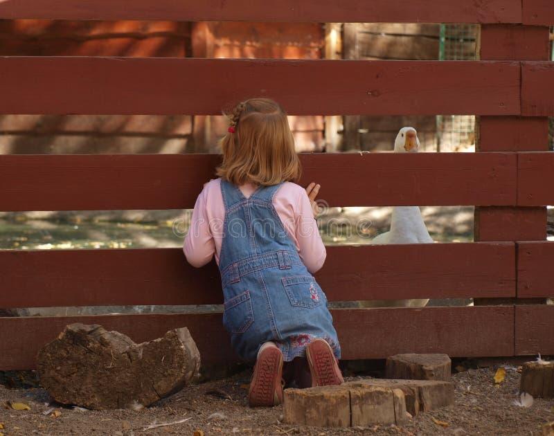 Lilla flickan ser över staketet på den vita gåsen royaltyfria foton