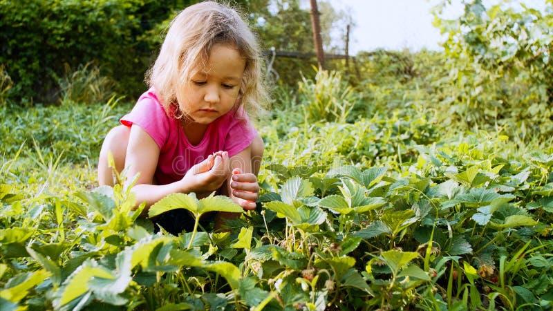 Lilla flickan väljer jordgubben, medan sitta nära växtsängen i trädgården arkivbilder