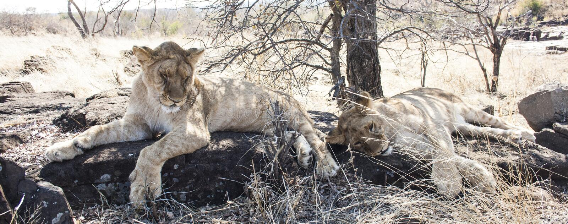 Lilla Lion Cubs arkivfoto