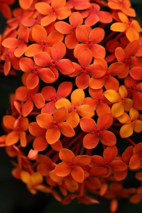 Lilla orange blommor fotografering för bildbyråer