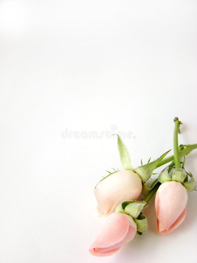 lilla rosa ro för bakgrundskort arkivfoton