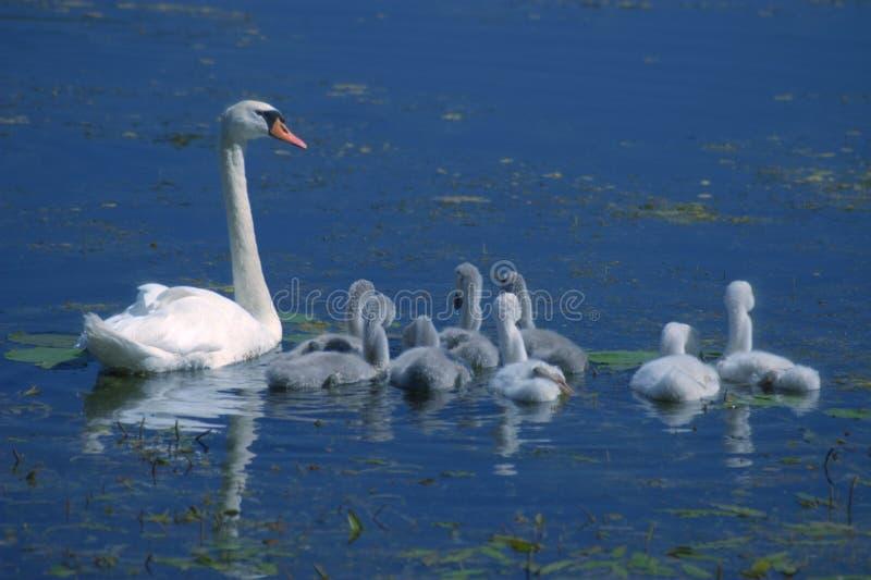 lilla swanswans arkivbild