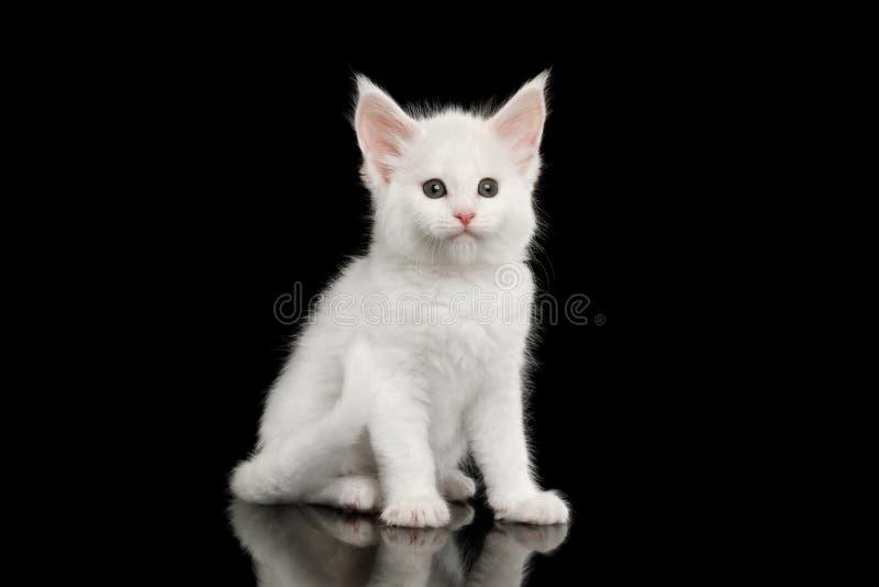 Lilla vita Maine Coon Kitten Isolated på svart bakgrund arkivbild