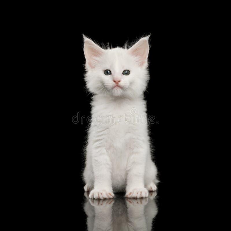 Lilla vita Maine Coon Kitten Isolated på svart bakgrund royaltyfri fotografi