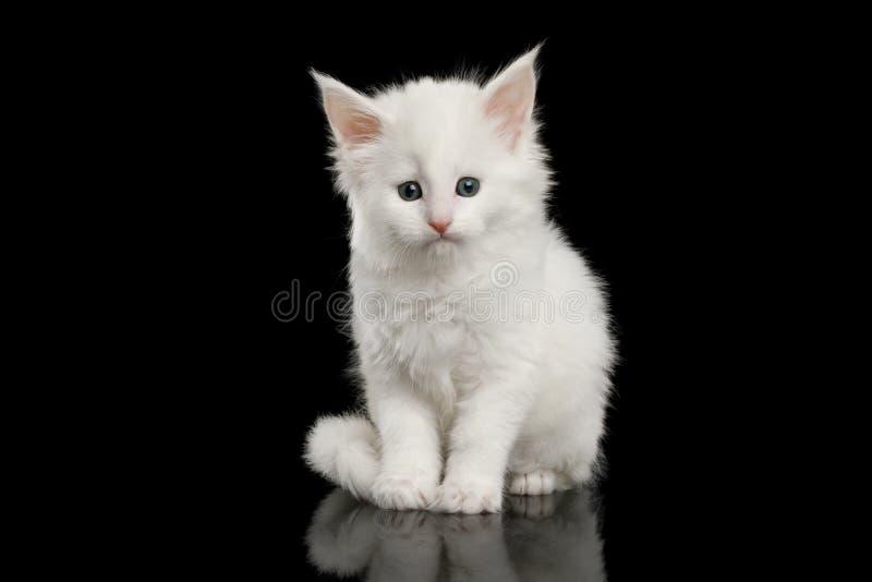 Lilla vita Maine Coon Kitten Isolated på svart bakgrund arkivbilder