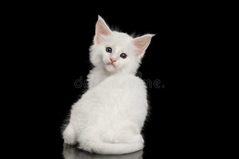 Lilla vita Maine Coon Kitten Isolated på svart bakgrund arkivfoton