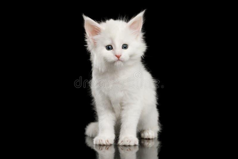 Lilla vita Maine Coon Kitten Isolated på svart bakgrund fotografering för bildbyråer