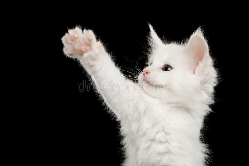 Lilla vita Maine Coon Kitten Isolated på svart bakgrund royaltyfri foto
