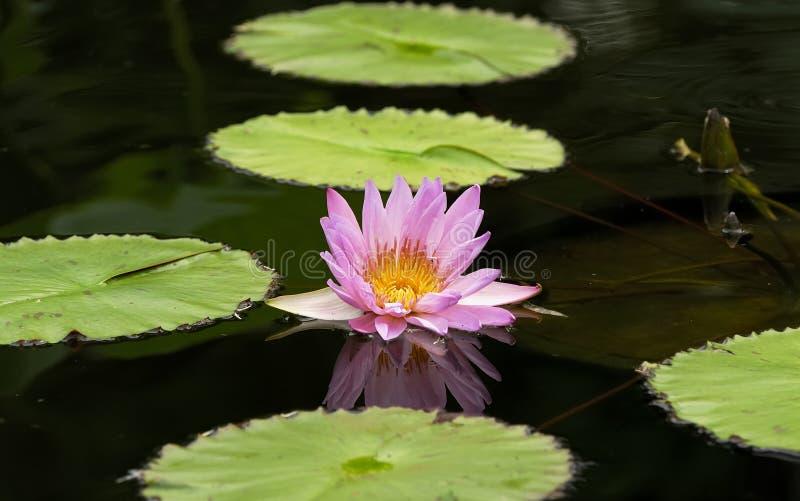 lillie水 库存照片