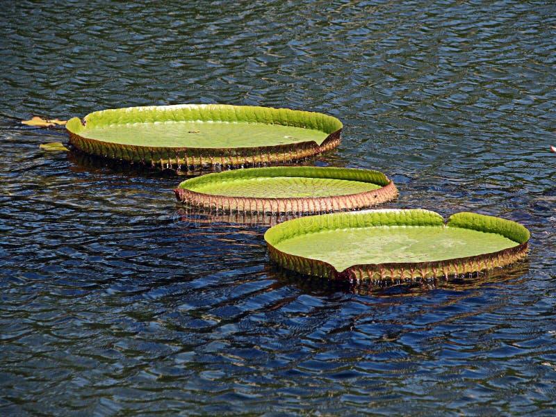 lillies水 图库摄影