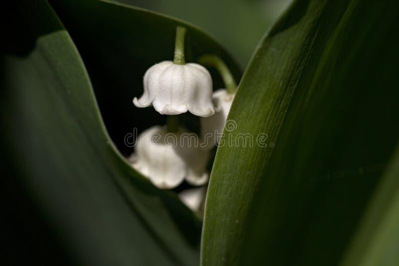 lillies谷 库存照片