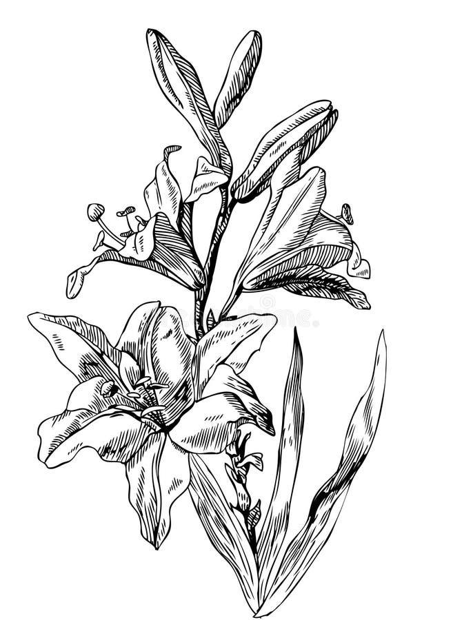 lillies απεικόνιση αποθεμάτων
