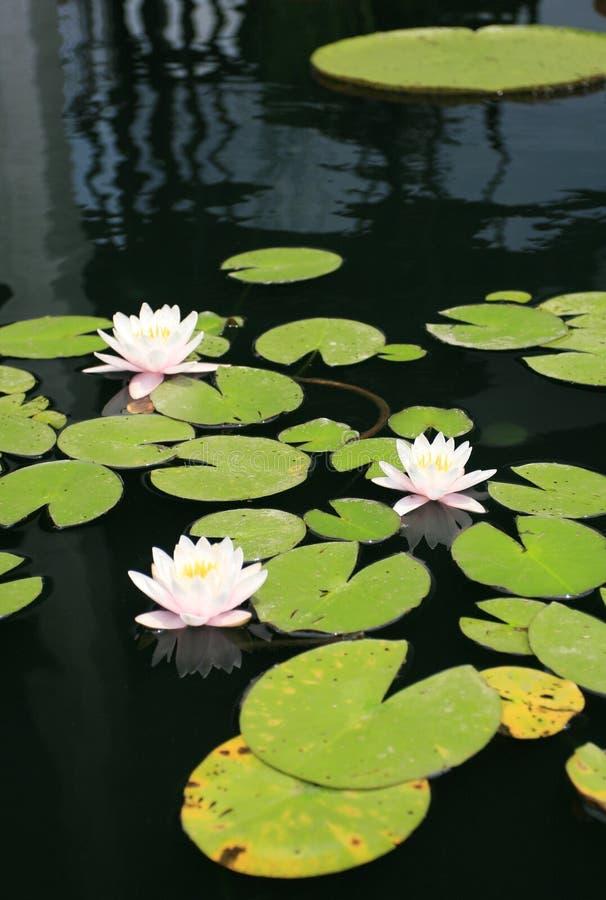 lillies ύδωρ στοκ φωτογραφία