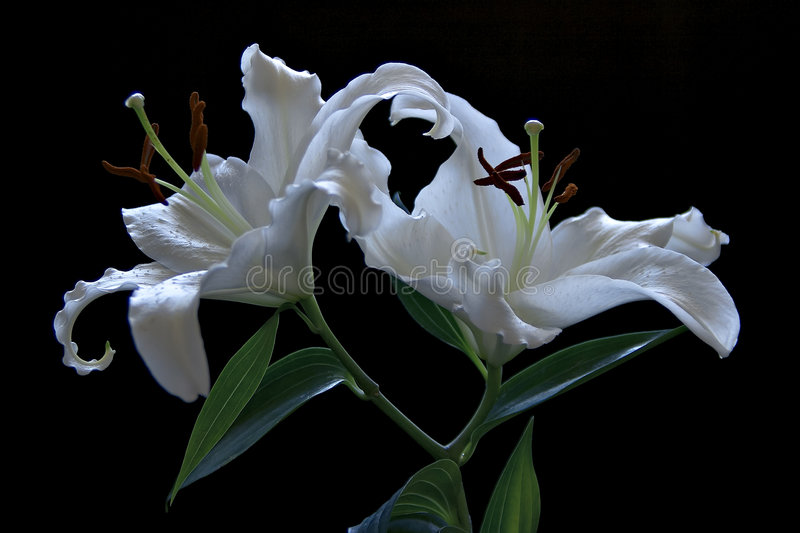 Download Lillies stock image. Image of twins, crinkled, black, isolated - 520701