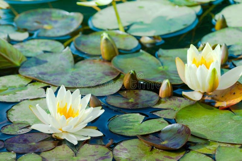 Lillies amarillos del agua fotos de archivo