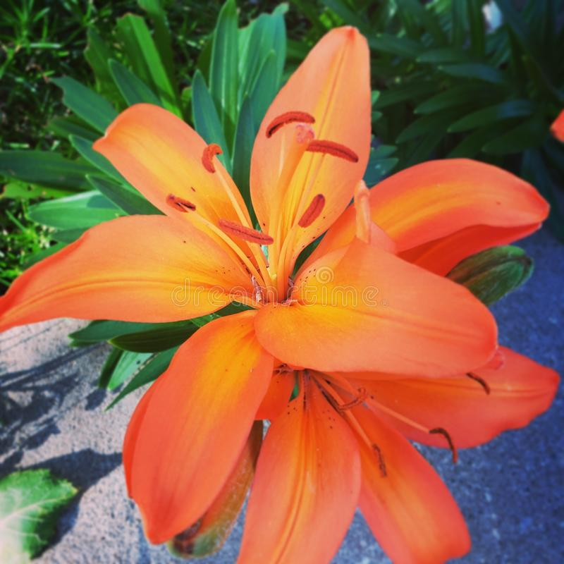 Lillies anaranjado imagenes de archivo