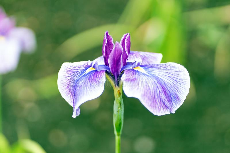 Lillies azules en cierre encima del estilo, foco suave imágenes de archivo libres de regalías