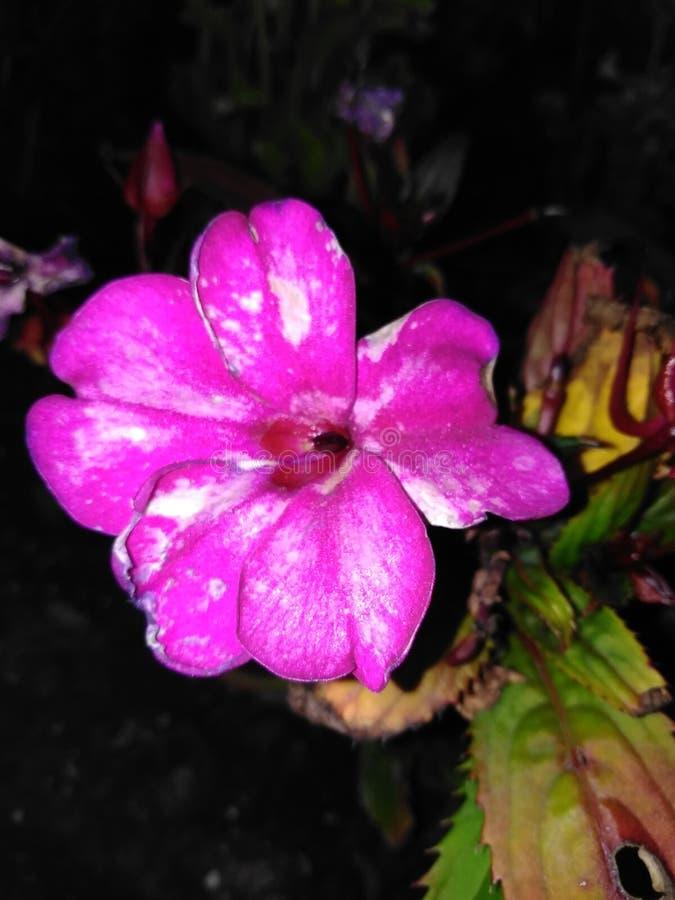 Lillies cor-de-rosa bonitos do dia imagens de stock royalty free