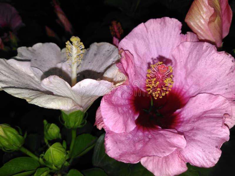 Lillies cor-de-rosa bonitos do dia foto de stock