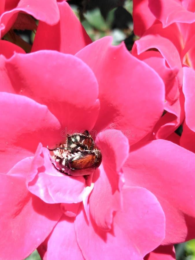 Lillies cor-de-rosa bonitos do dia imagens de stock