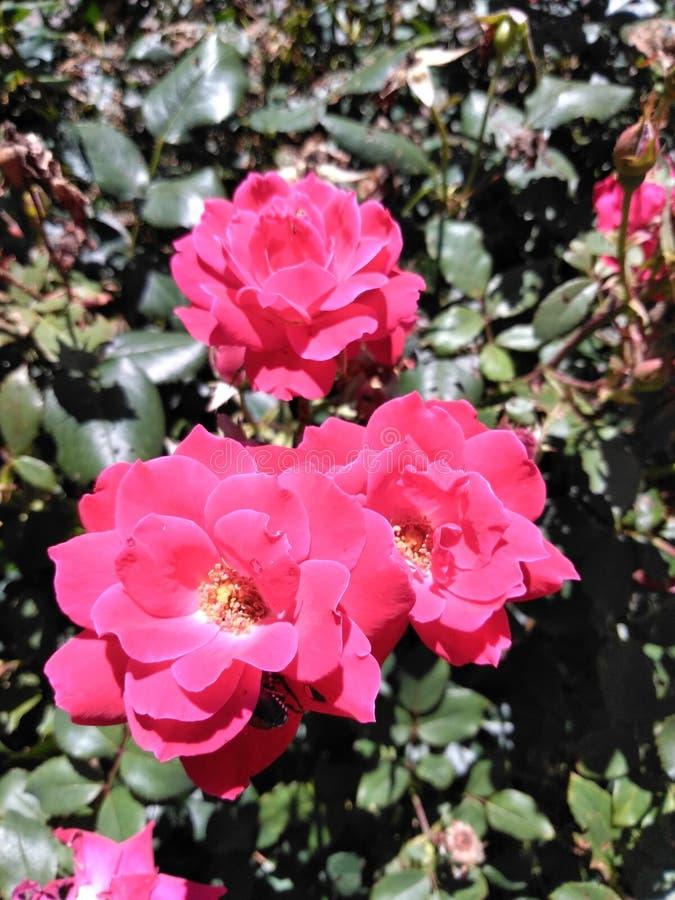 Lillies cor-de-rosa bonitos do dia imagem de stock royalty free