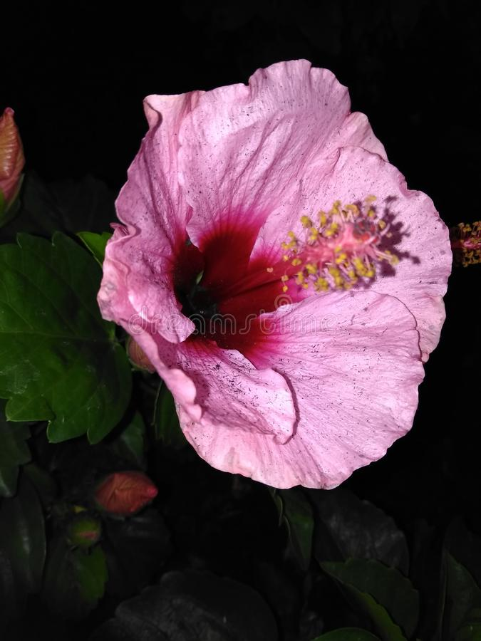 Lillies cor-de-rosa bonitos do dia fotos de stock