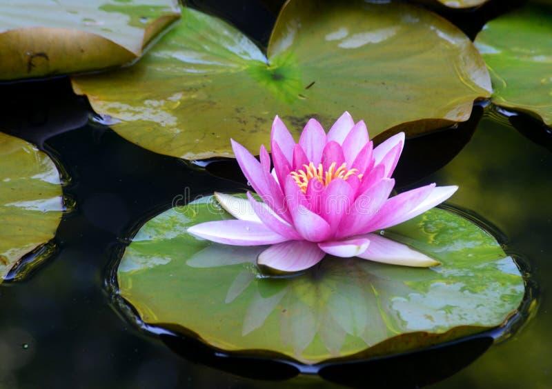 Lillies da água e reflexões da água fotos de stock royalty free