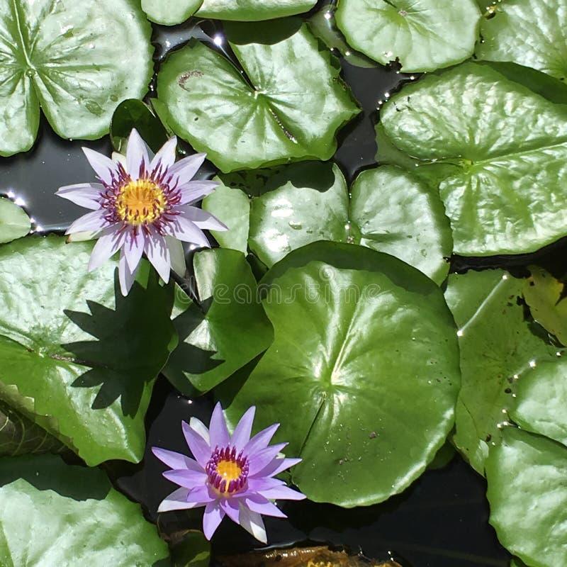 Lillies lilla immagine stock libera da diritti