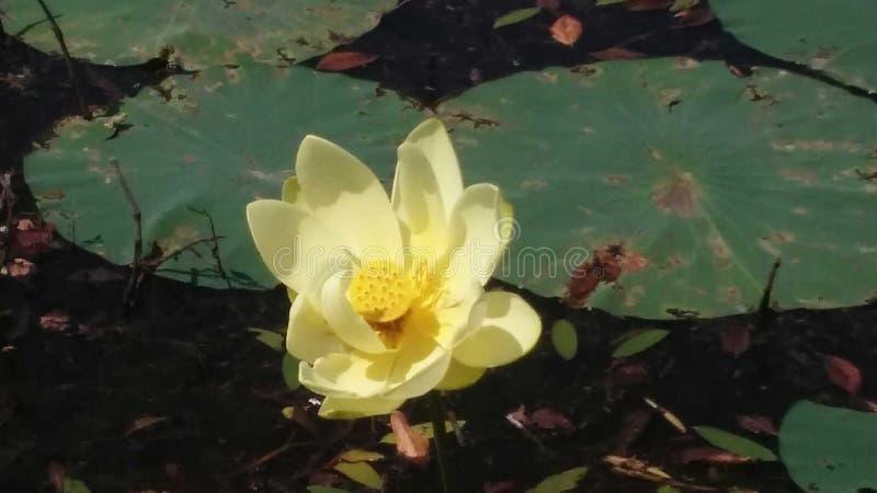 Lillies stock photos