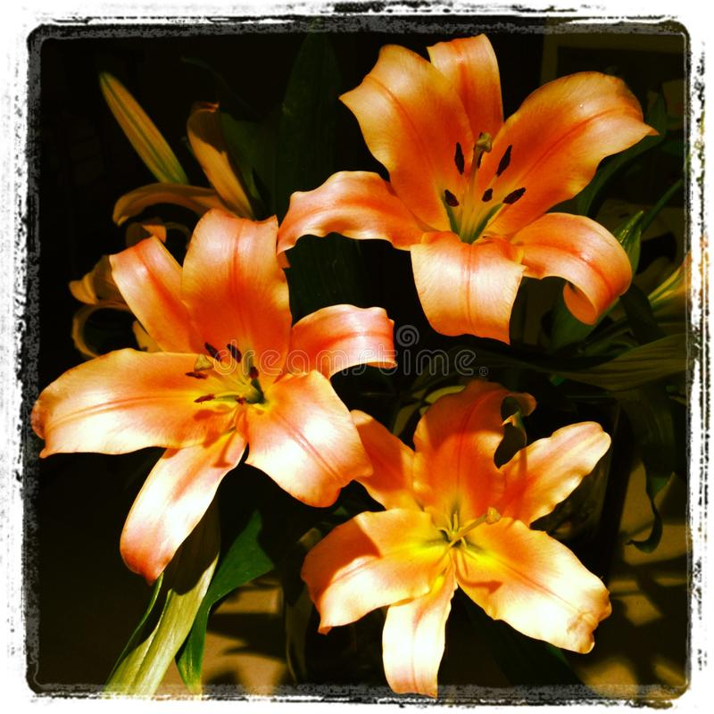Lillies stock photo