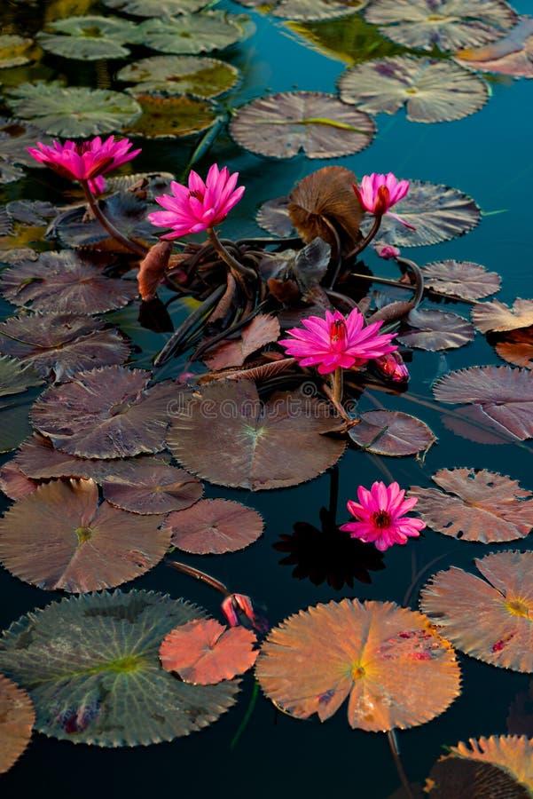 Lillies roses de l'eau dans un étang naturel au Trinidad-et-Tobago image libre de droits