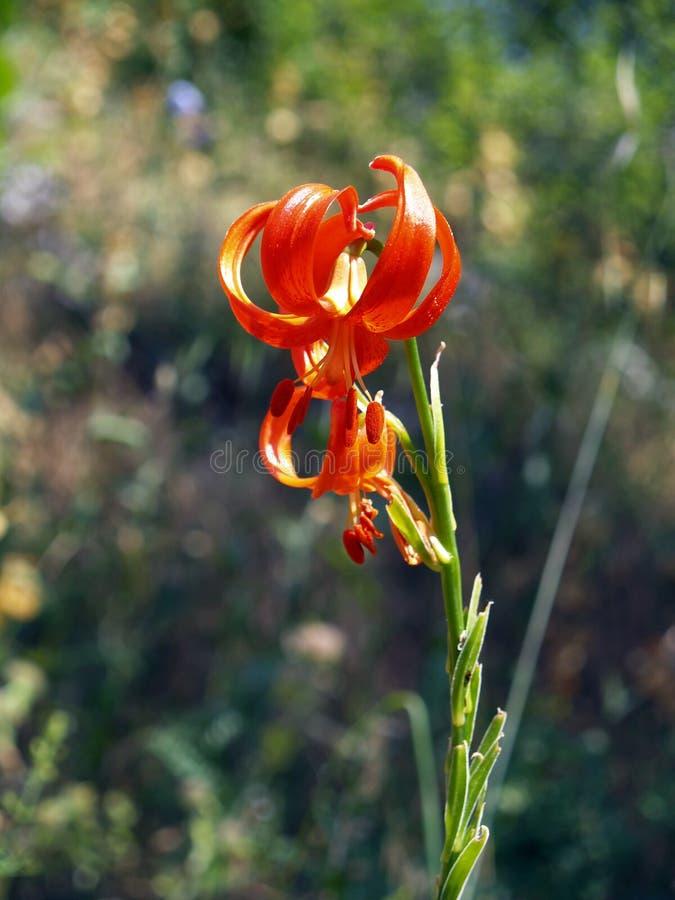 Lillium chalcidonicum,在奥林波斯山的狂放的lillium 库存图片