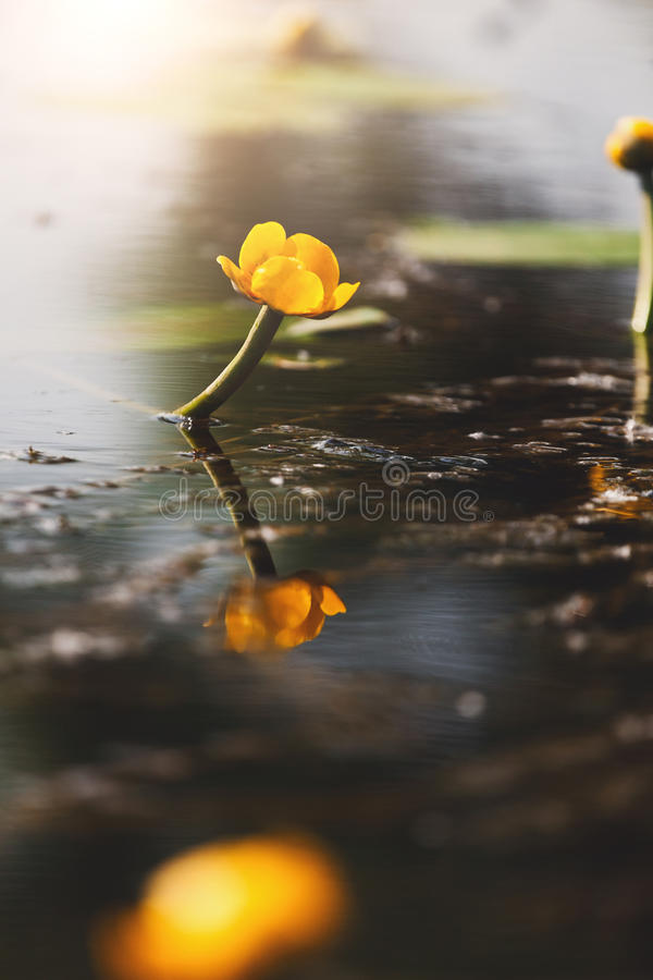 lilly可爱的黄色水 背景花光playnig 库存照片