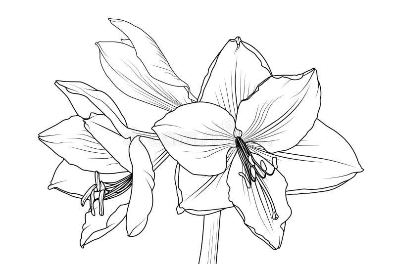 lilly孤挺花hippeastrum特写镜头宏指令视图 库存例证