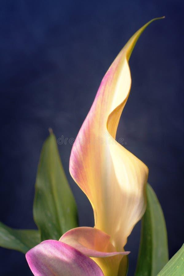 lilly水芋属淡紫色 免版税库存照片