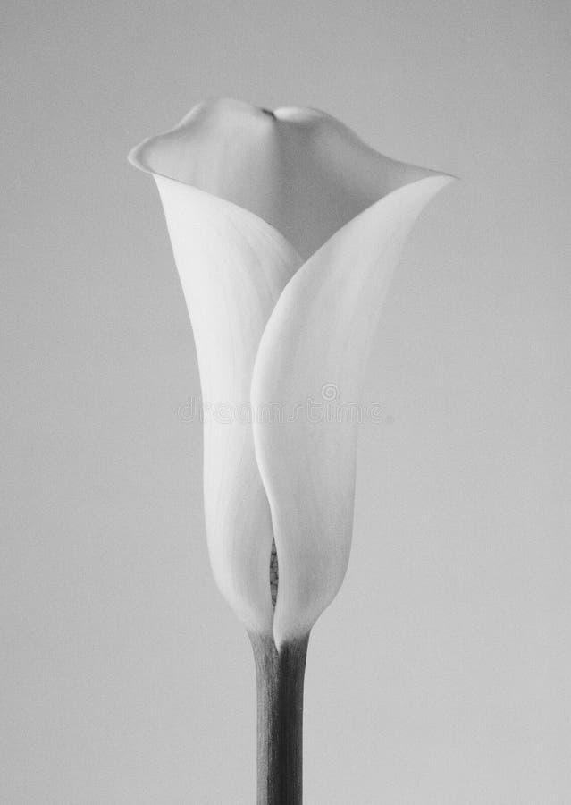 lilly水芋属 图库摄影