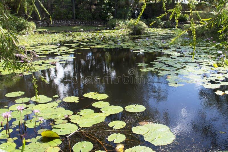 lilly池塘 免版税库存图片