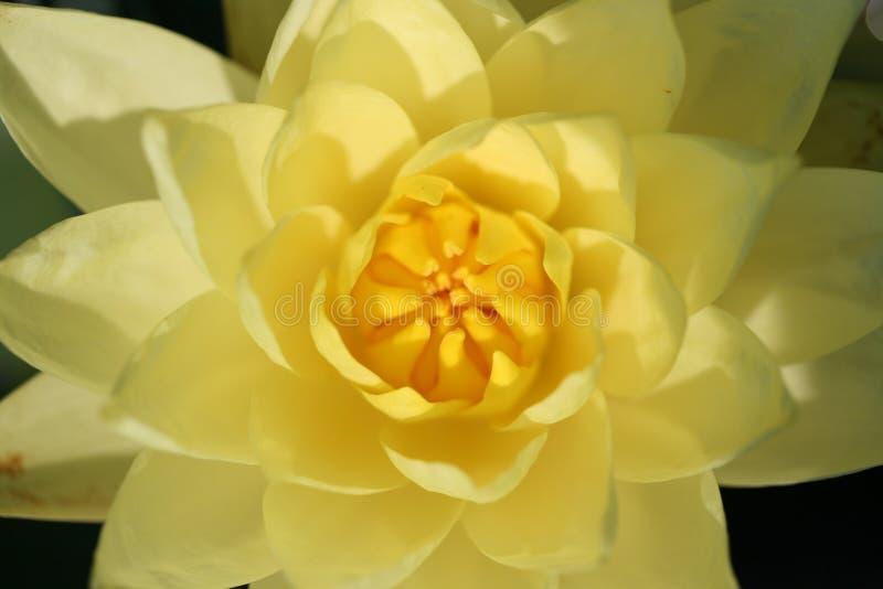 lilly浇灌黄色 免版税库存照片