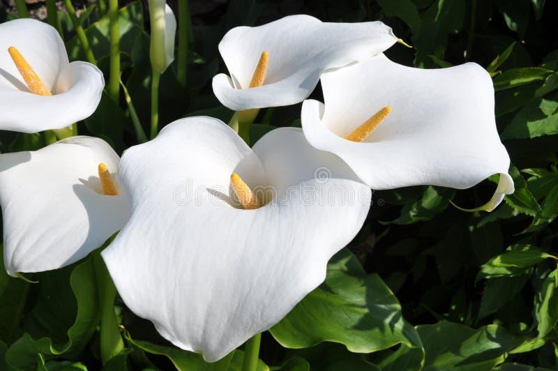 lilly海芋属植物组茎化锥黄色 免版税库存照片