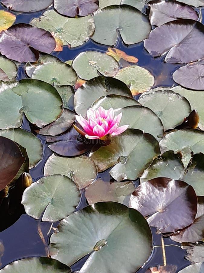 lilly漂浮在被日光照射了池塘关闭的花水  图库摄影